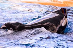 Mammal Orca Killer Whale Fish. Photo Picture of a Mammal Orca Killer Whale Fish stock photography