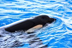 Mammal Orca Killer Whale Fish. Photo Picture of a Mammal Orca Killer Whale Fish stock images