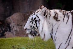 Rare White Striped Wild Tiger. Photo Picture of a Rare White Striped Wild Tiger stock photo