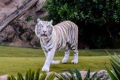 Rare White Striped Wild Tiger. Photo Picture of a Rare White Striped Wild Tiger stock photos