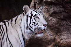 Rare White Striped Wild Tiger. Photo Picture of a Rare White Striped Wild Tiger stock images