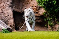 Rare White Striped Wild Tiger. Photo Picture of a Rare White Striped Wild Tiger royalty free stock photography