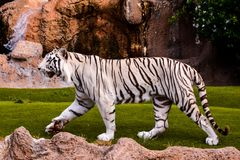 Rare White Striped Wild Tiger. Photo Picture of a Rare White Striped Wild Tiger royalty free stock images