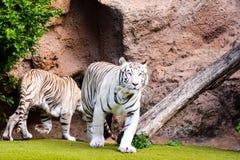 Rare White Striped Wild Tiger. Photo Picture of a Rare White Striped Wild Tiger stock image