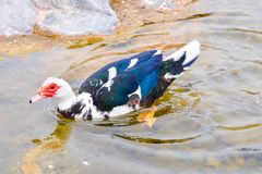 Muskovy Duck wild royalty free stock images