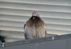 Pigeon fledgeling sitting on the ledge. Photo of a pigeon fledgeling sitting on the ledge Royalty Free Stock Photos