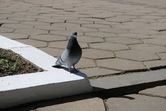 Photo of the pigeon royalty free stock image