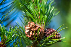 Photo Pine branch with cone Stock Photos