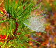 Photo pine branch with spider web with dew Stock Photography