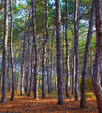 Photo of pine forest Royalty Free Stock Photography