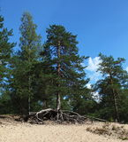Photo of the pine tree with large exposed roots growing on the top of a sand dune, on the background of blue sky Stock Photos