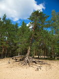 Photo of the pine tree with large exposed roots growing on the top of a sand dune, on the background of blue sky royalty free stock photography