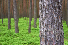 Photo of pine trunk in forest. Photo of pine trunk (Pinus sylvestris) in front, green forest in background. Selective focus Royalty Free Stock Images