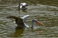 Photo of a Pink backed Pelican royalty free stock photography