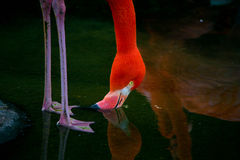 Photo of a pink flamingo drinking water Royalty Free Stock Photos