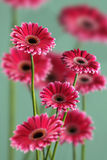 Photo of pink gerberas on green background, macro photography and flowers background Royalty Free Stock Images