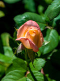 Photo of pink orange rose on a green foliage background. In the garden Stock Photography