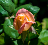 Photo of pink orange rose on a green foliage background. In the garden stock images