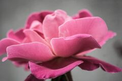 Photo of Pink Petal Flower Stock Photography