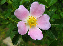 Rosa canina. Photo of pink rosa canina (dog Rose Royalty Free Stock Photo