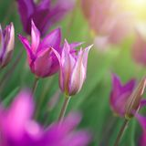 Photo of pink tulips with sun beam Stock Images