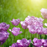 Photo of pink tulips with sun beam Stock Photography