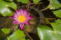 Photo of a Pink Water Lillie taken in Bangkok, Thailand. Photo of a Pink Water Lillie in the pond taken in Bangkok, Thailand royalty free stock photo