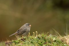 Plain colored seedeater. This is a photo of a plain colored seedeater, taken in national park cajas, Ecuador stock photos