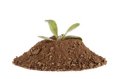 Photo of a plant growing on a hill of clay isolated on a white background Royalty Free Stock Image