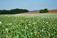 Photo of poppy field Stock Photography