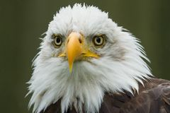 The majestic American Bald Eagle. Photo portrait of an American Bald Eagle Royalty Free Stock Image