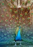 Photo  portrait of beautiful peacock Stock Photos