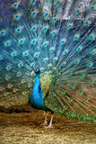 Photo portrait of beautiful peacock Stock Images