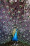 Photo portrait of beautiful peacock Stock Photo