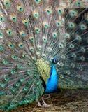 Photo portrait of beautiful peacock Stock Photography
