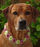 Dog rhodesian ridgeback with dog collar of santini flowers. In the photo is a portrait of a dog rhodesian ridgeback with dog collar of santini flowers. Photo was Stock Image