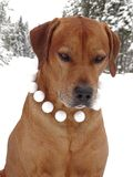 Dog Rhodesian ridgeback and snowballs. In the photo is portrait of a dog Rhodesian ridgeback with snowballs around his neck. Photography was made near the town Royalty Free Stock Photography