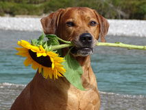 A dog, rhodesian ridgeback with sunflower. In the photo is a portrait of a dog, rhodesian ridgeback with sunflower. Photo was made in summer near river Isar Stock Photos