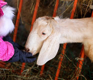 Photo portrait of a goat Royalty Free Stock Image