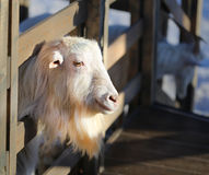 Photo portrait of a goat Royalty Free Stock Photography