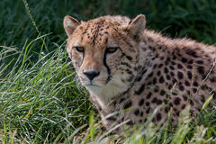 Photo portrait of a resting Cheetah. Photograph study of a resting Cheetah Stock Images