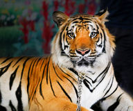 Photo portrait tiger Royalty Free Stock Image