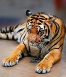 Photo portrait tiger Stock Photo