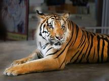 Photo portrait tiger Stock Photos