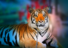 Photo portrait tiger Royalty Free Stock Photo