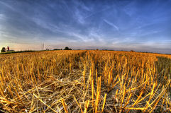 Stubble after harvest grain at sunset light Stock Photo