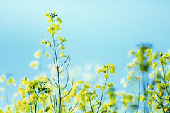 Photo presenting field of canola Stock Photos