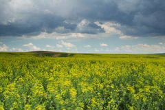 Green wheat field with blues sky and clouds Stock Images