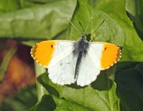 Male orange tip butterfly sunning wings in spring sun. Photo of a pretty male orange tip anthocharis cardamines butterfly sunning its wings on plant in a kent stock photography