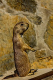 A photo of a priarie dog Royalty Free Stock Photos